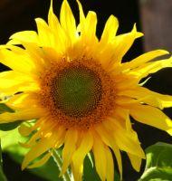 Gelbe-Riesen-07