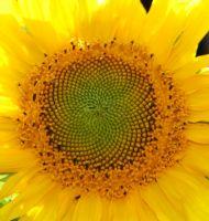 Gelbe-Riesen-08