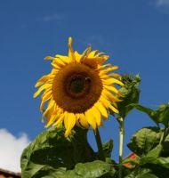Gelbe-Riesen-11